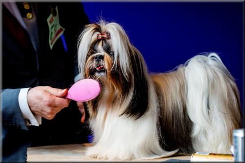 """PANYIN TSIN FATINAT AL SJARK (Donna )"""" Hond van het jaar show 2014"""" foto :Robin van Lonkhuijsen"""